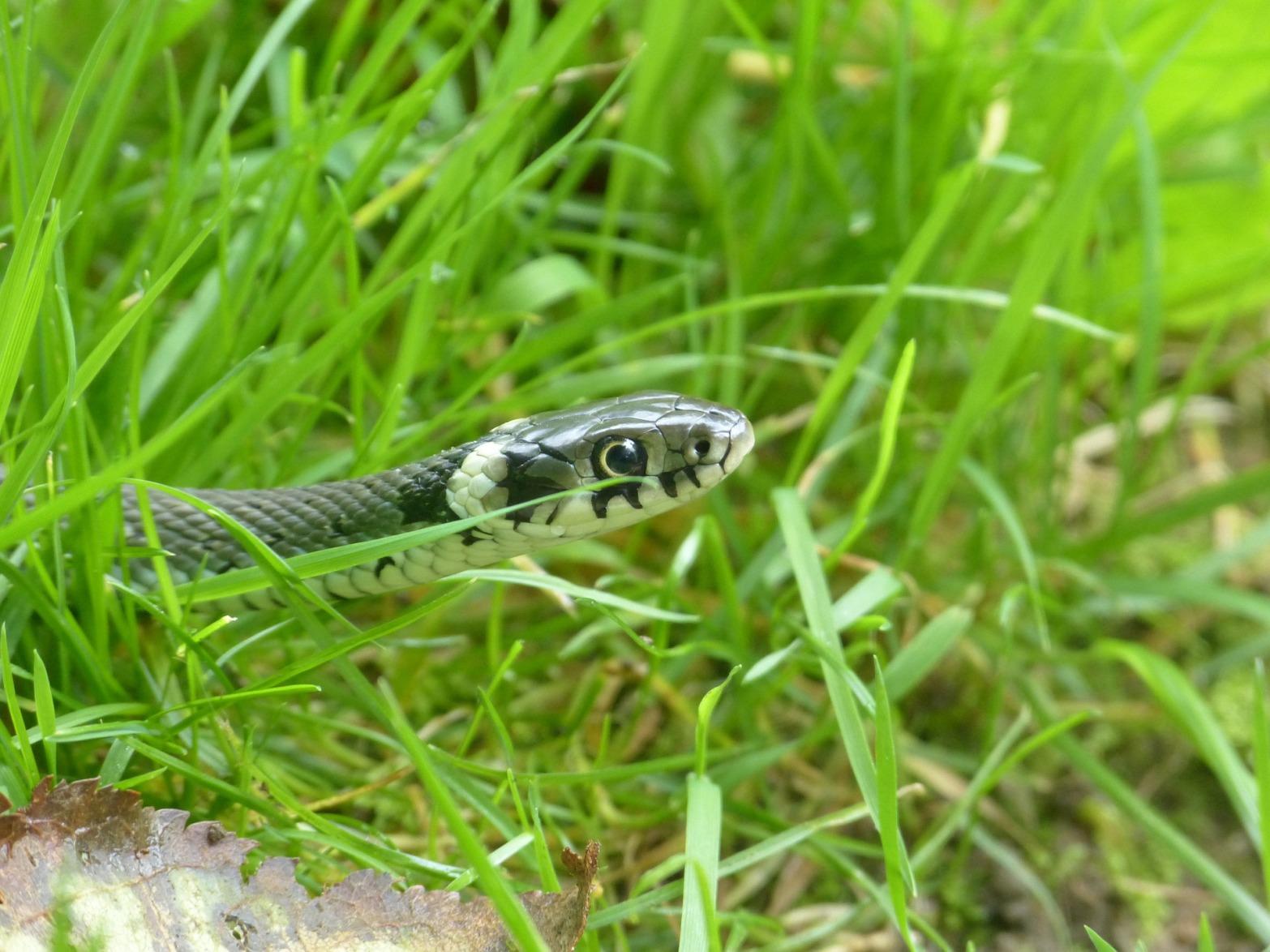 grass-snake-634638_1920