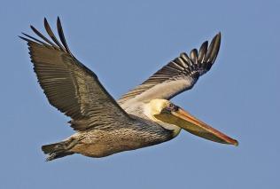 brown-pelican-1185963_1280