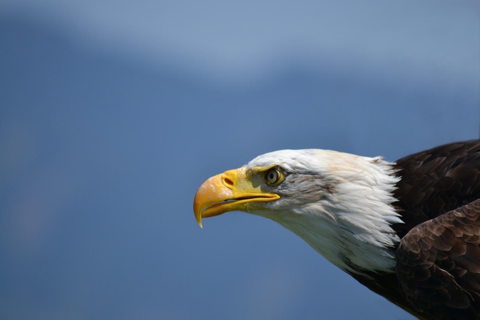 bald-eagle-1224646_1920